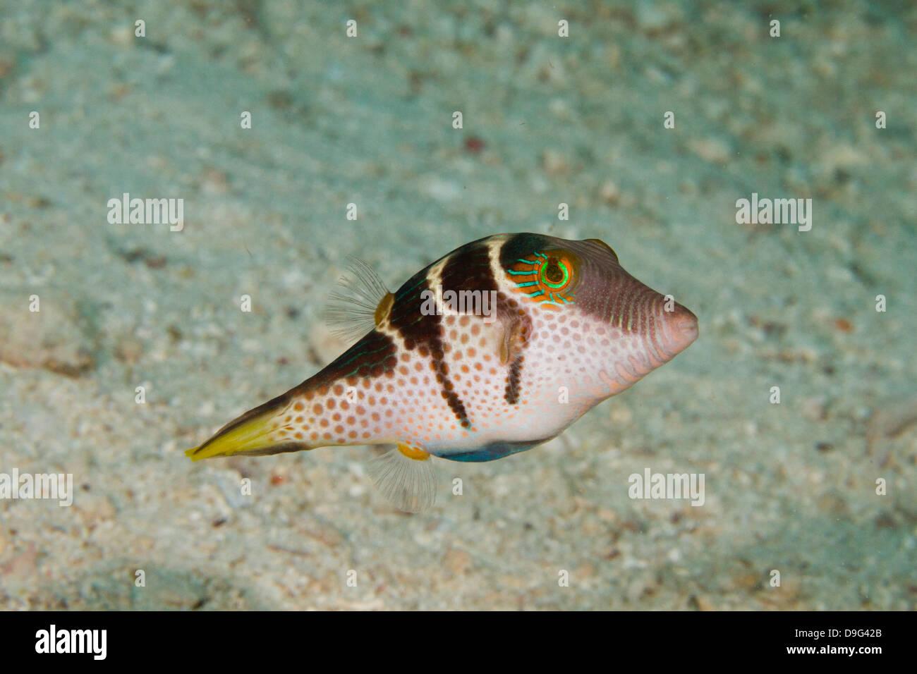 Black saddled puffer fish, Canthigaster valentini, Mabul, Borneo, Malaysia Stock Photo