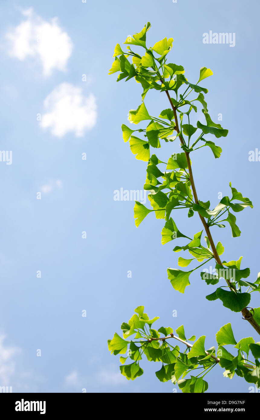 The branch of young ginkgko biloba tree in spring - Stock Image