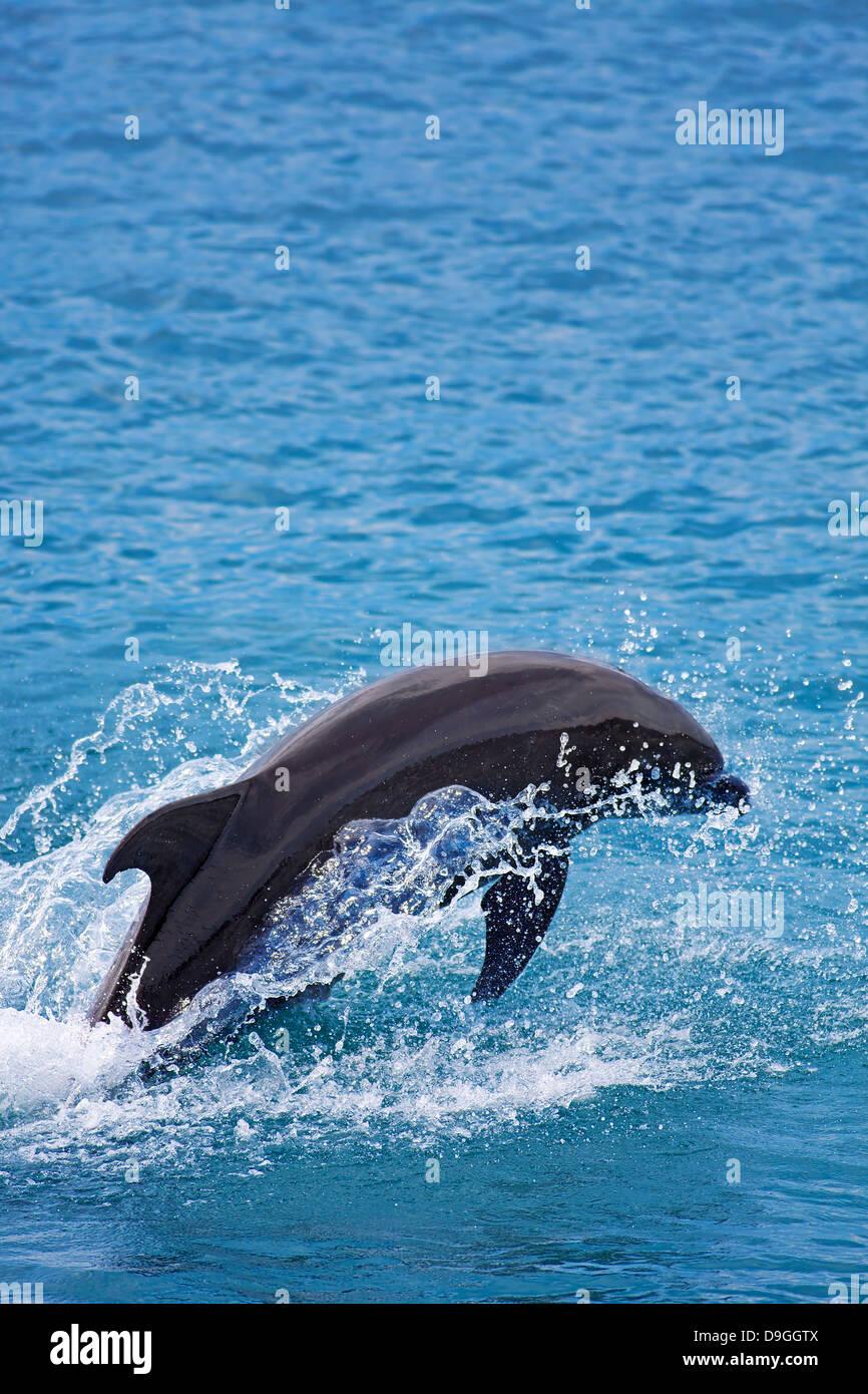 Bottlenose Dolphin - Stock Image