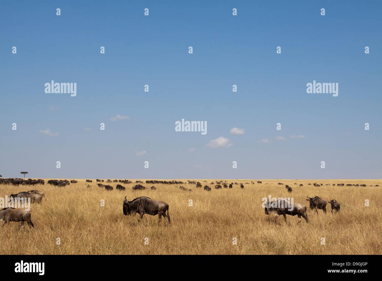 Wildebeest, connochaetes taurinus, on annual migration, Masai Mara, Kenya, Africa - Stock Image