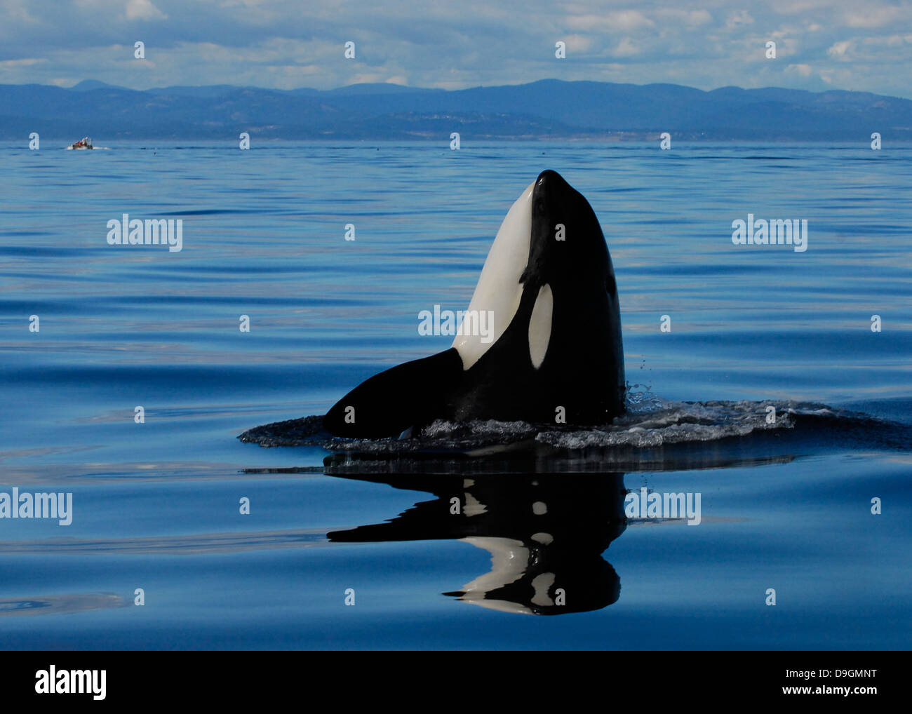 a killer whale spyhops to take a look at its surroundings with a whale-watching boat in the background - Stock Image