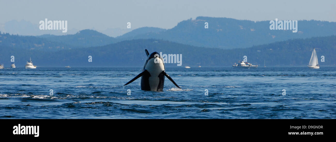 male killer whale breaches with boats in the background - Stock Image