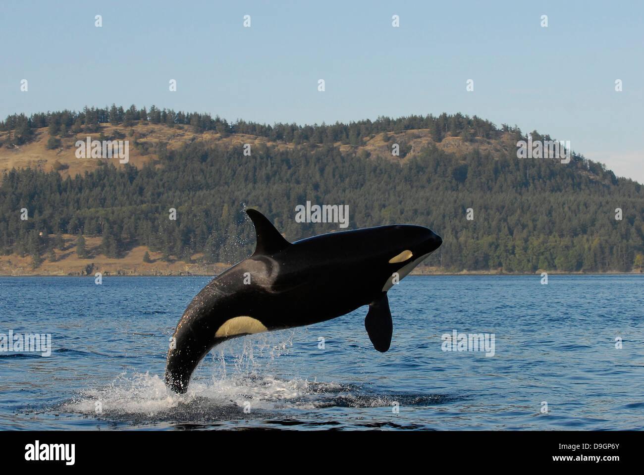 killer whale breaches - Stock Image