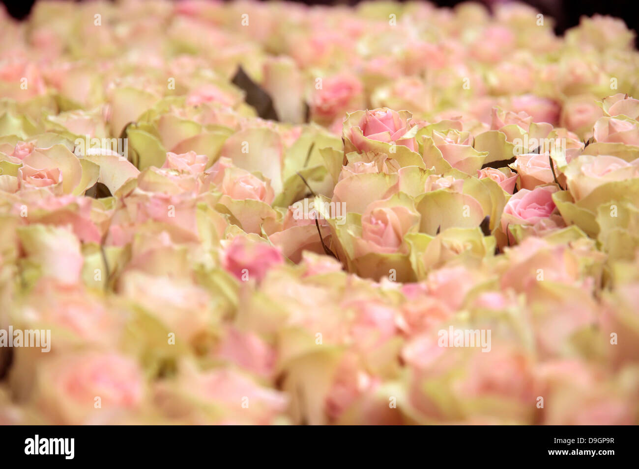Big pink rose stock photos big pink rose stock images alamy big bunch of cut light pink roses in a flower shop in the center of copenhagen mightylinksfo