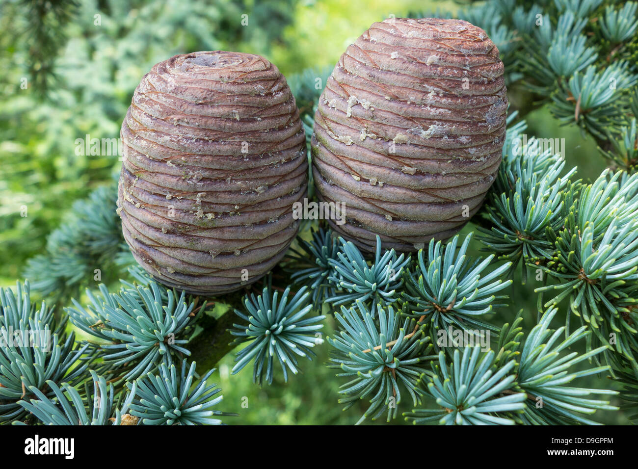 Pine Cones Fir Cones - Stock Image