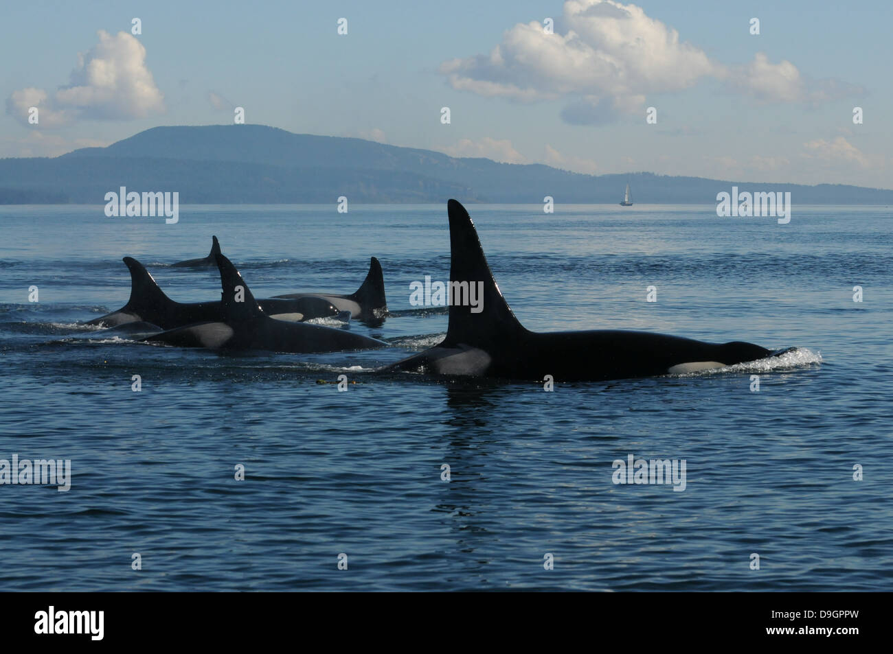 a family group of killer whales travels through Haro Strait (WA, USA) - Stock Image