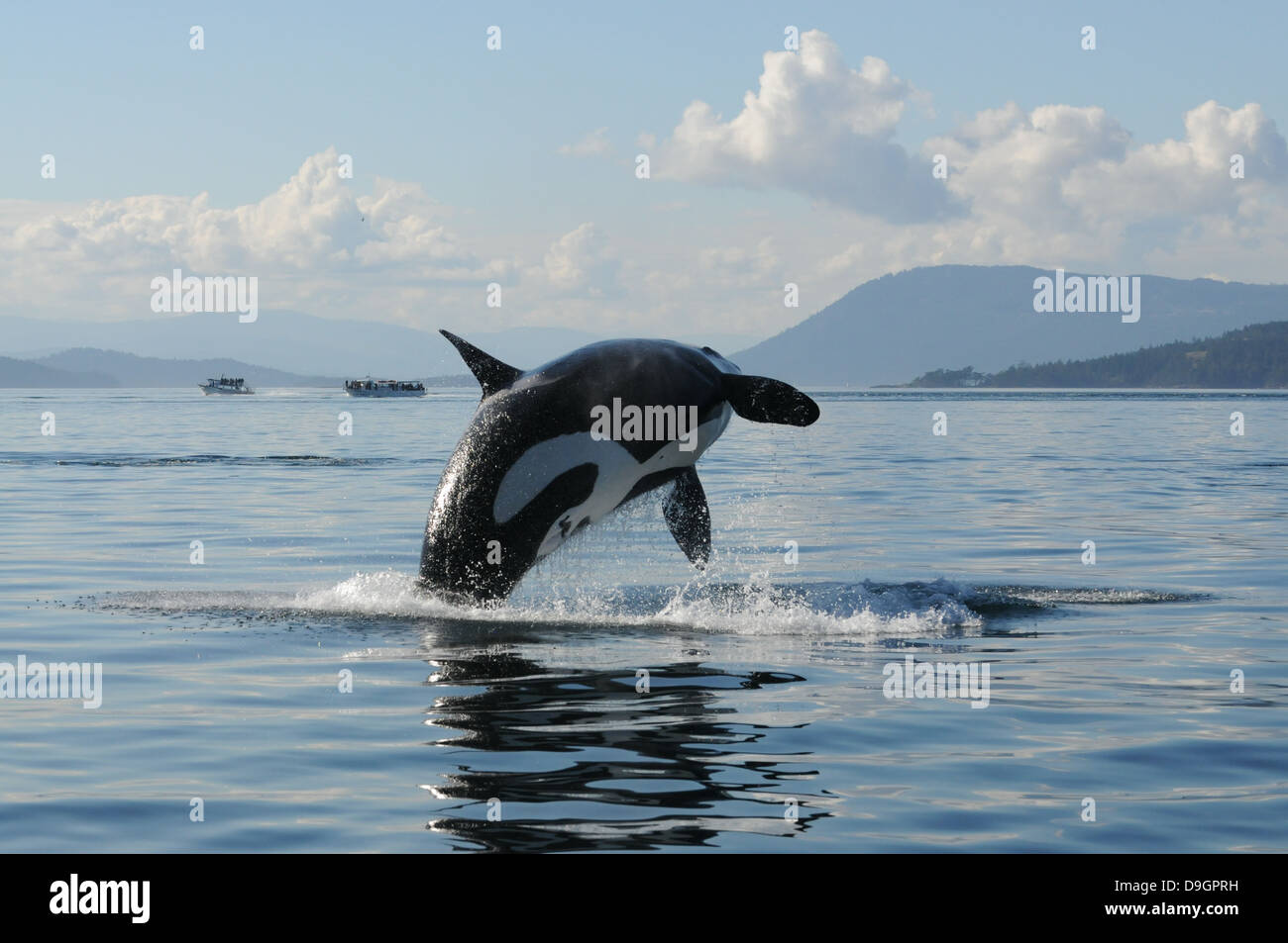 a female killer whale breaches with whale-watching boats in the background - Stock Image