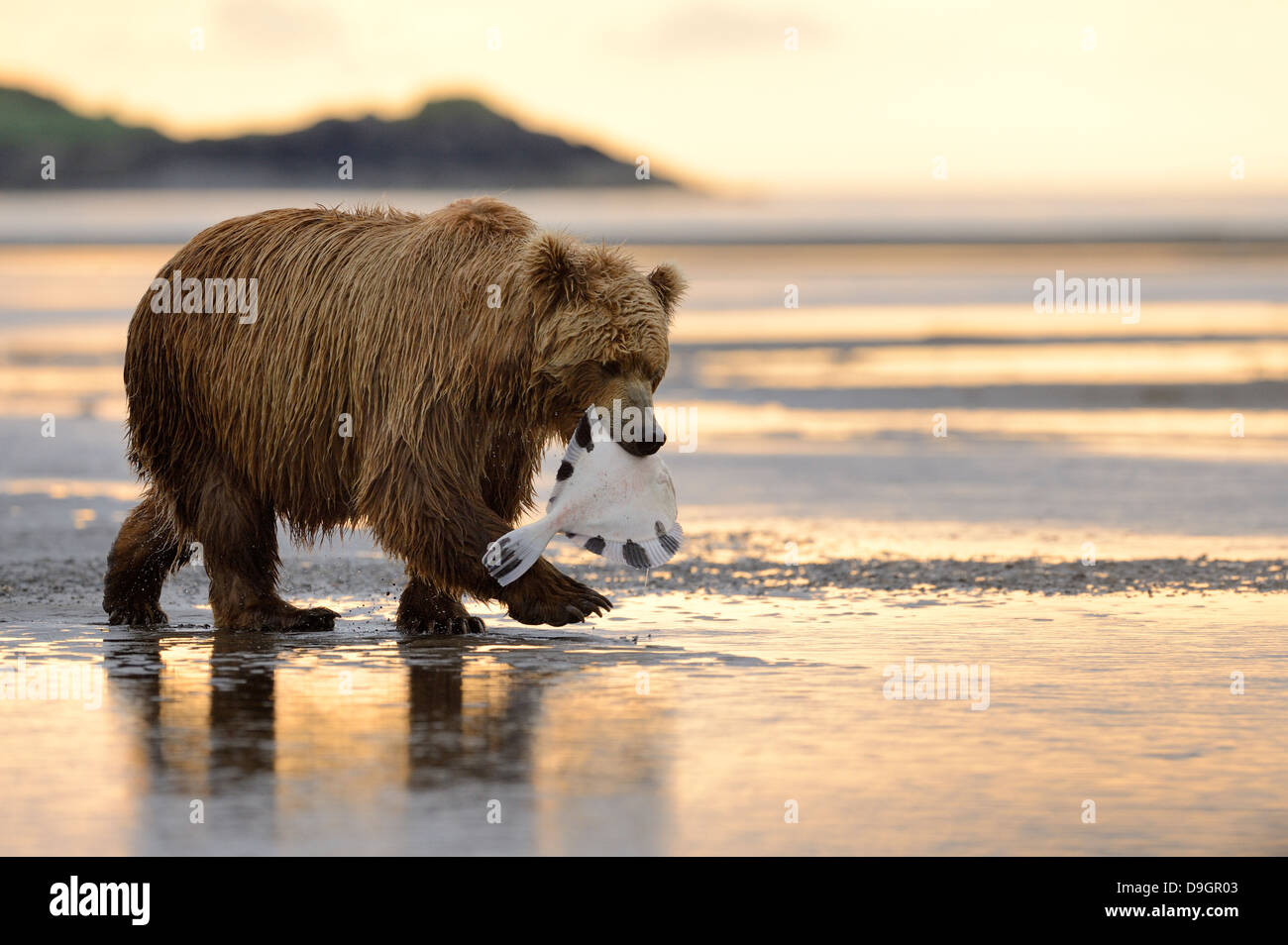 Grizzly Bear walking with caught fish in mouth - Stock Image
