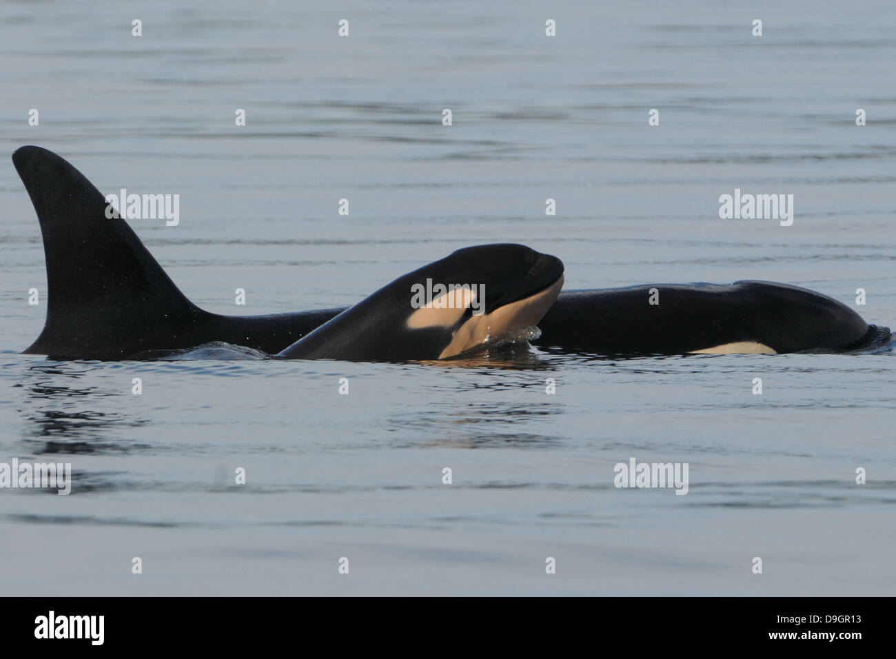 a killer whale calf surfaces next to its mother - Stock Image