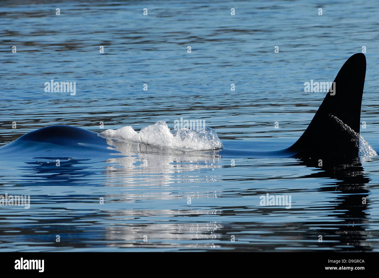 a male killer whale surfaces - Stock Image