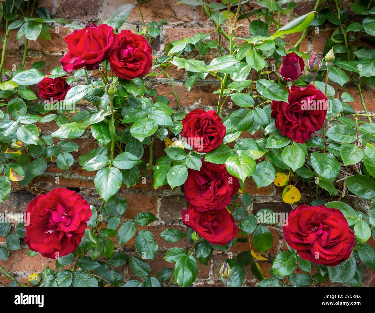 Climbing Climber Rambler Roses Red Rose - Stock Image