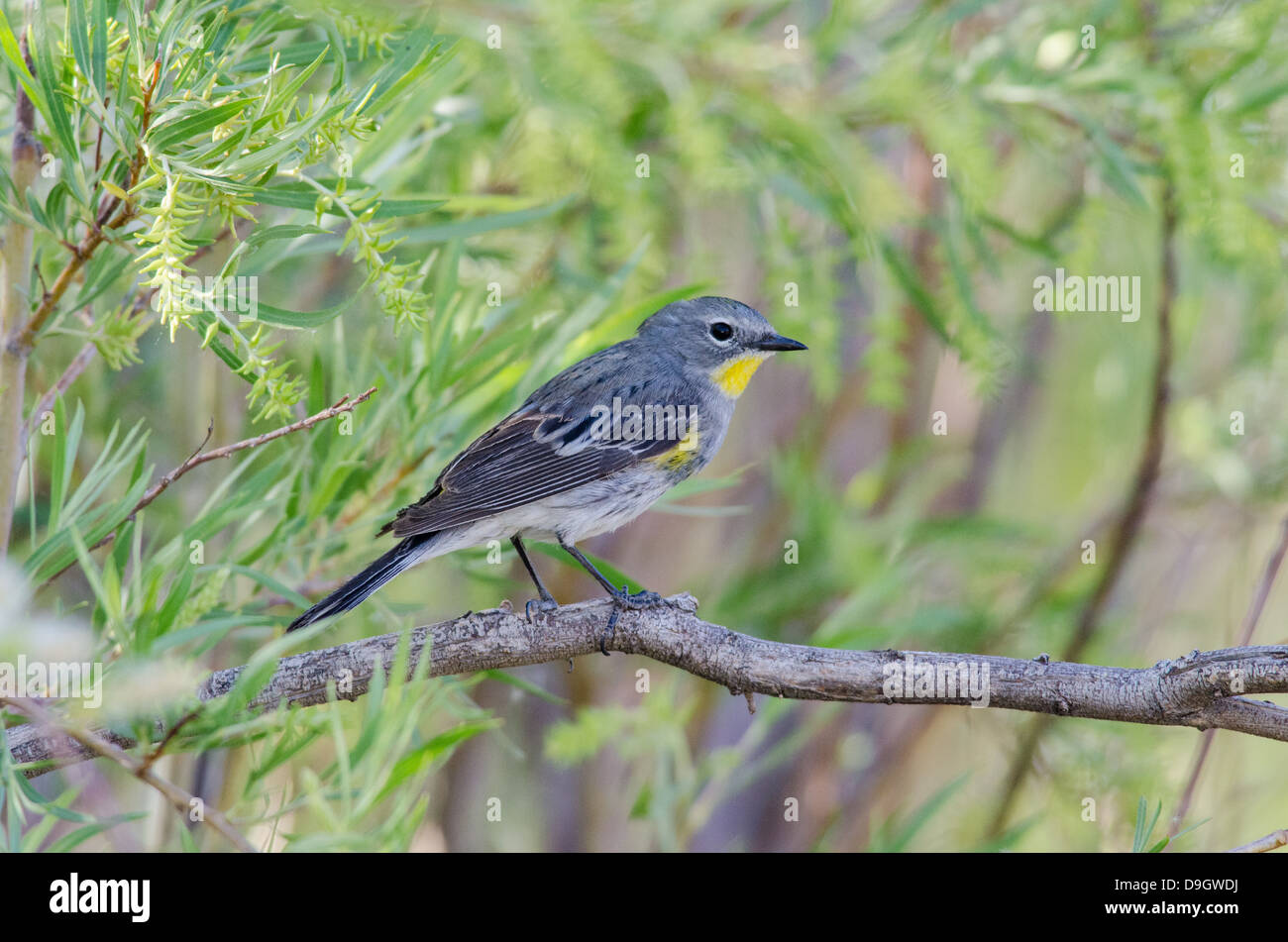 (Audubon's variety) Yellow-rumped Warbler, , (Setophaga coronata), Bosque del Apache National Wildlife Refuge, - Stock Image