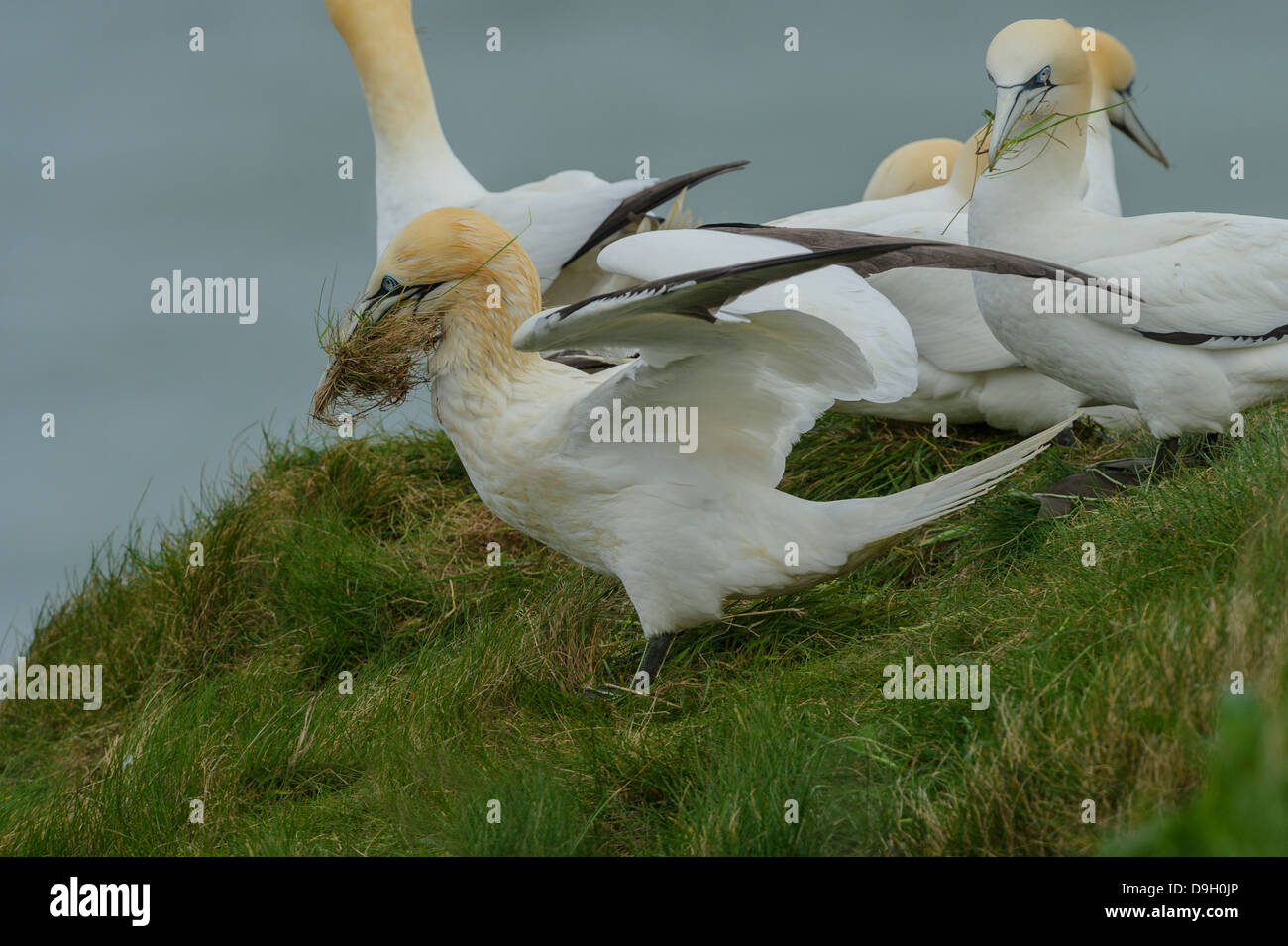 A group of Northern Gannets (Morus bassanus) gather grass for nests. The one nearest the camera shows oil/solvent - Stock Image