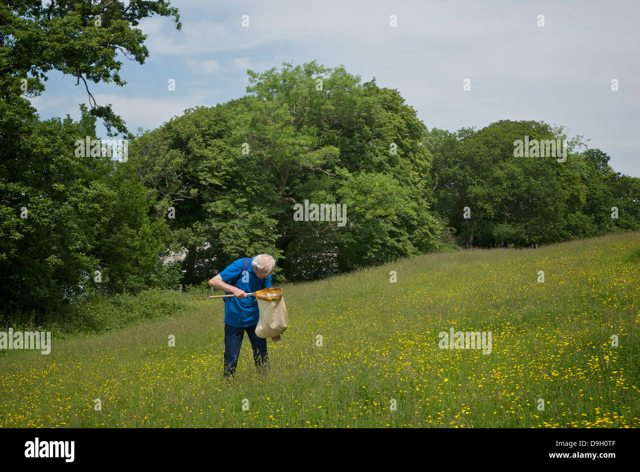 Senior man hunting bugs with a net, at Grubbins Wood, near Arnside, Cumbria, England UK - Stock Image