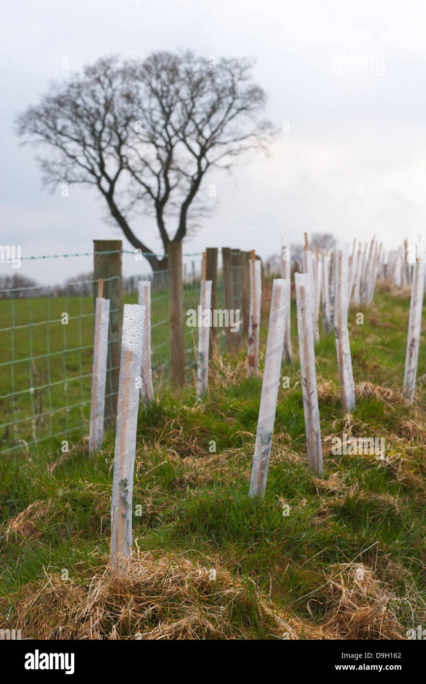 Native shrub seedlings (birch, holly and ash) forming a new hedgerow are protected from grazing and browsing by - Stock Image