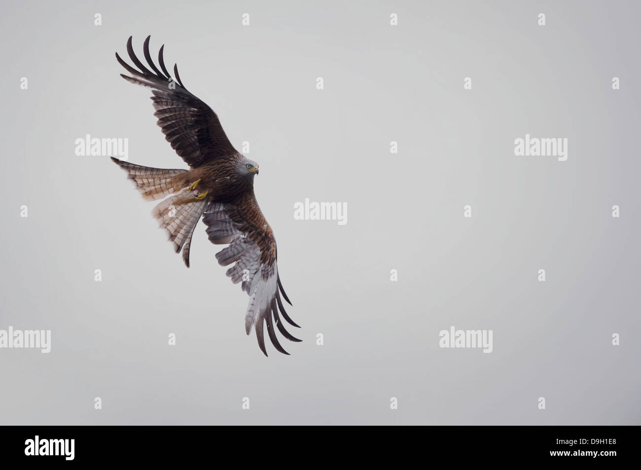 A raptor bird of prey Red Kite (Milvus milvus) in flight with wings extended, holding a morsel of carrion in its - Stock Image