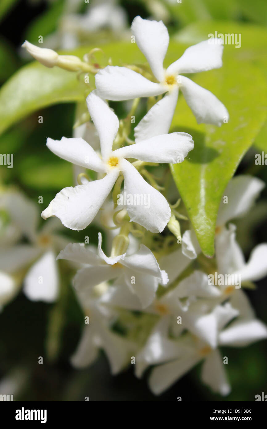 Jasmine Flowers Stock Photos Jasmine Flowers Stock Images Alamy