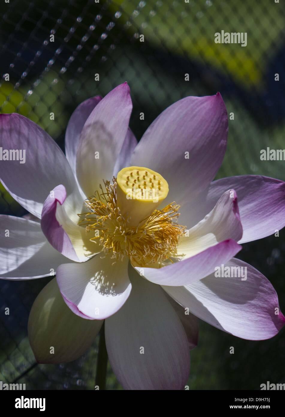 June 19 2013 Los Angeles California Us A Lotus Flower Stock