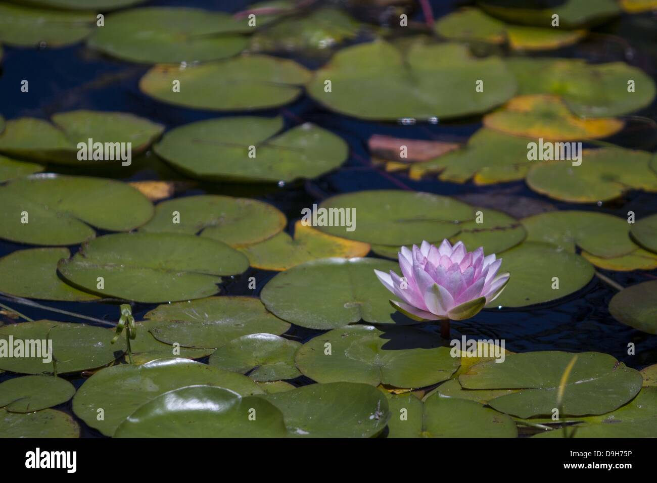 June 19, 2013 - Los Angeles, California, U.S - A lotus flower blossoms on Wednesday, June 19, 2013 at Echo Park Stock Photo