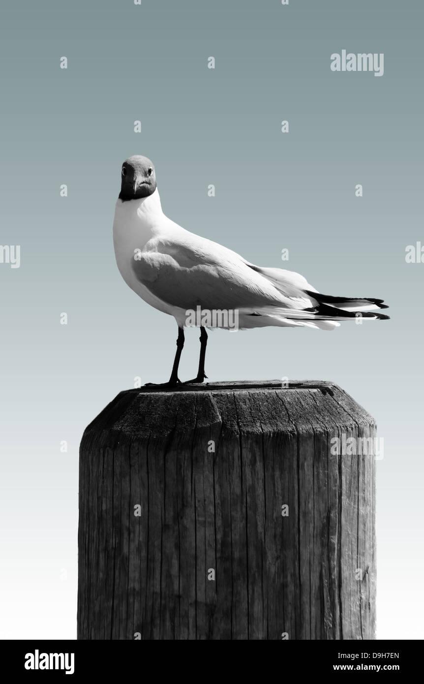 Black-headed Gull isolated - Stock Image