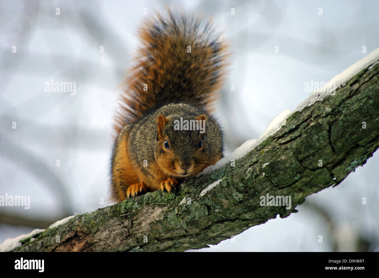 Charming Charlie the Eastern Red Fox Squirrel barking at the
