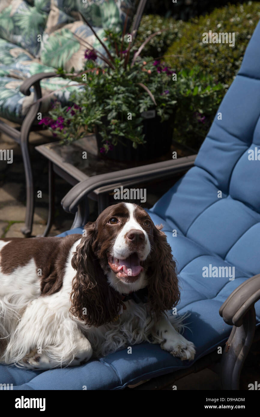 Incroyable Springer Spaniel Pet Dog Relaxes On Poolside Lounge Chair, USA