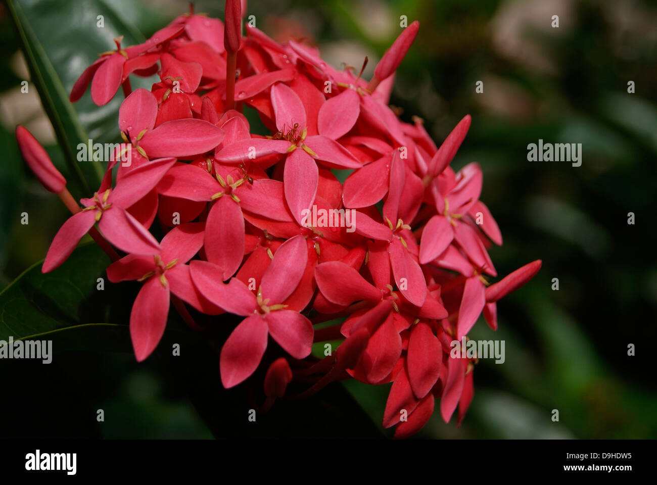 Red Color Ixora flowers or jungle geranium or flame of the woods or ...