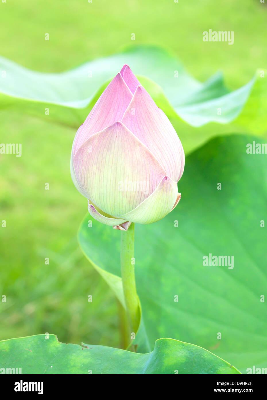 Lotus buds stock photos lotus buds stock images alamy lotus buds lotus flower and lotus flower plants stock image izmirmasajfo