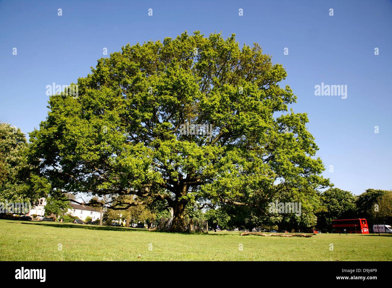 Oak tree on Ealing Common, Ealing, London, UK - Stock Image