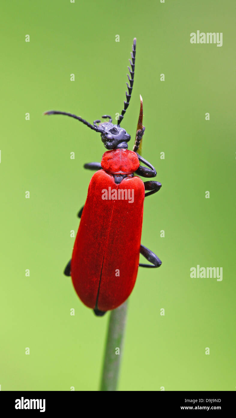The Black-headed Cardinal beetle (Pyrochroa coccinea) - Stock Image