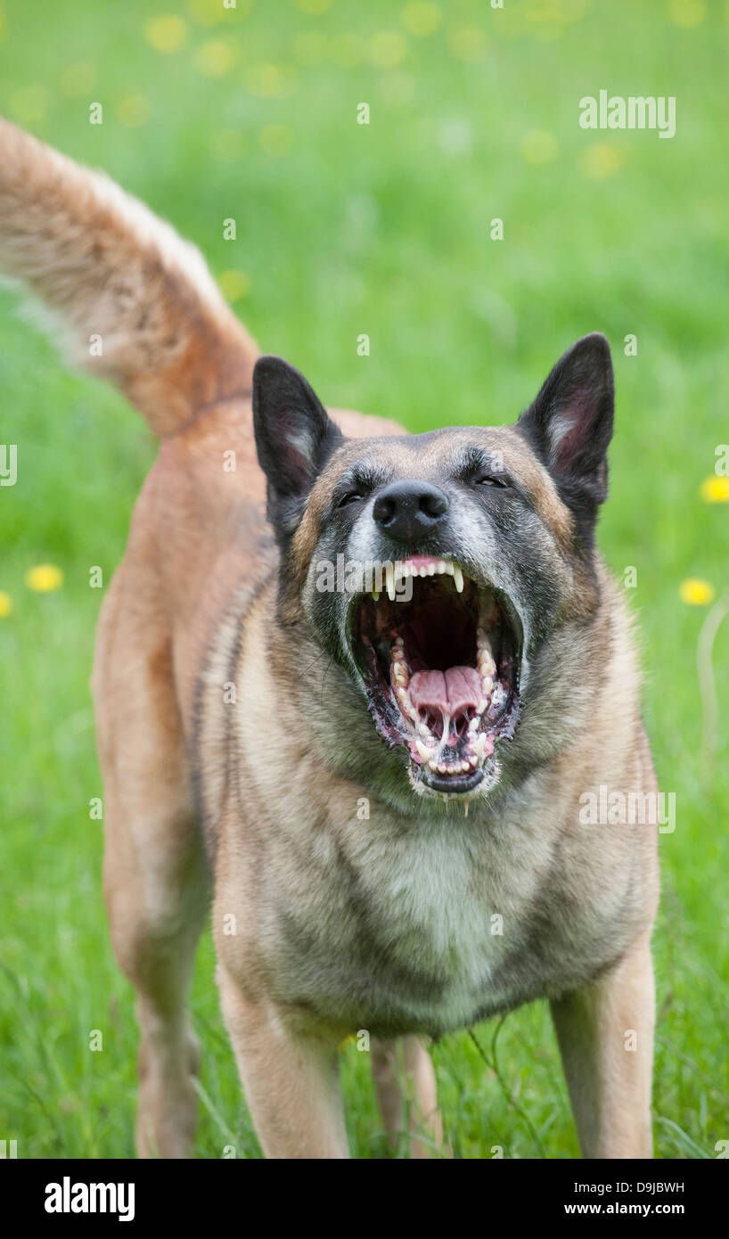 Snarling police dog showing teeth and about to attack - Stock Image