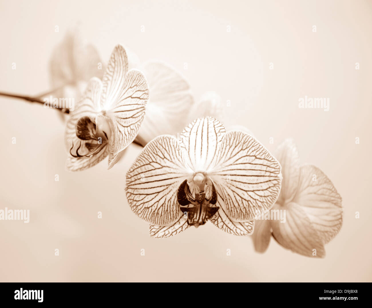 Orchid flowers in sepia tones Stock Photo