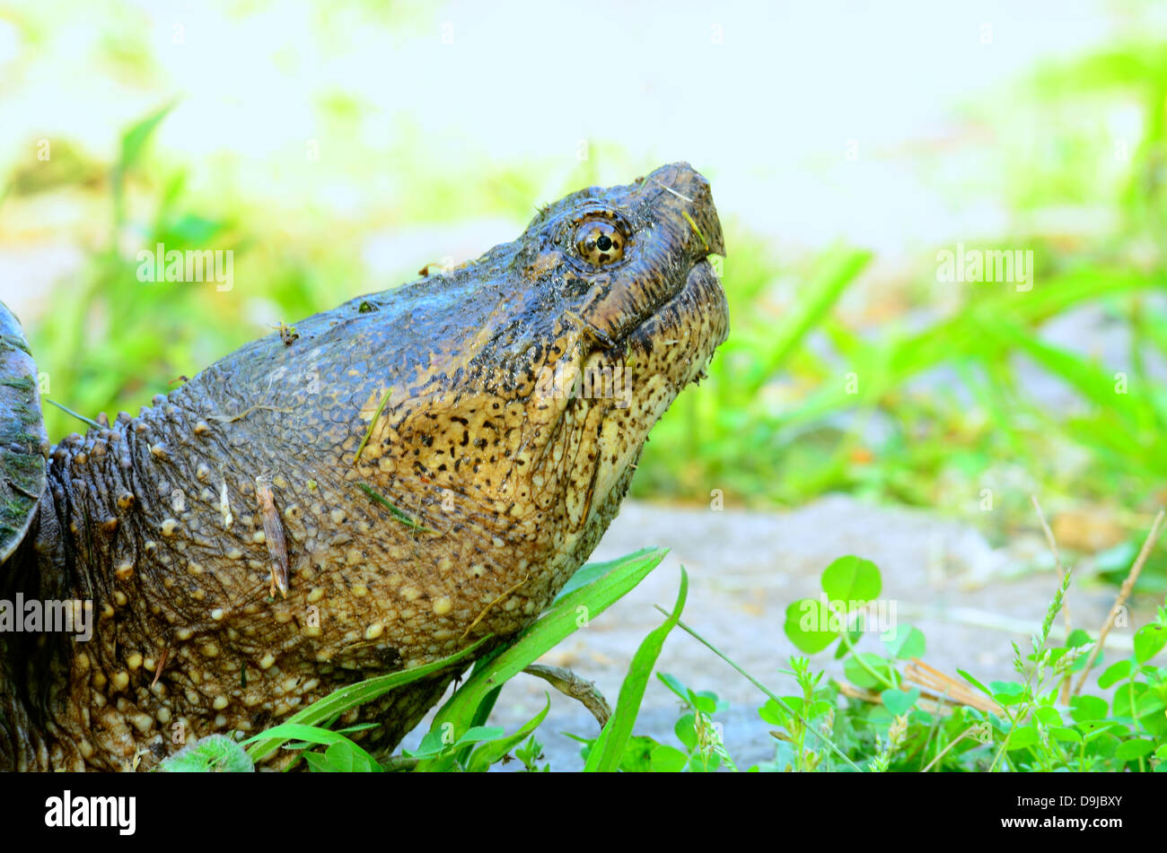 Snapping Turtle closeup macro shot of its head. Stock Photo