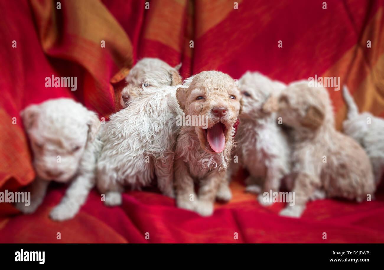 Lagotto Romagnolo puppies - Stock Image