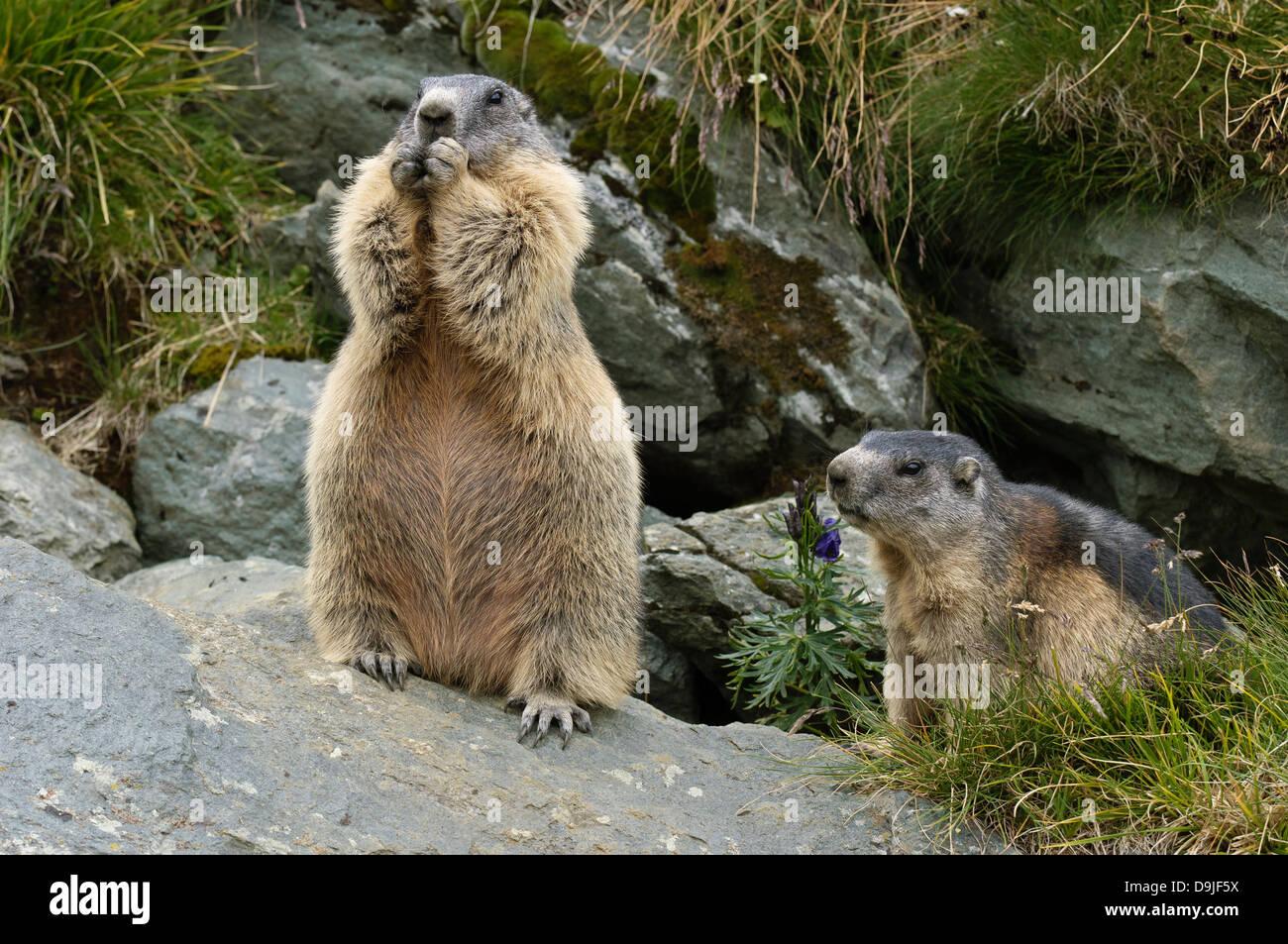 Murmeltier, Alpine Marmot, Marmota marmota Stock Photo