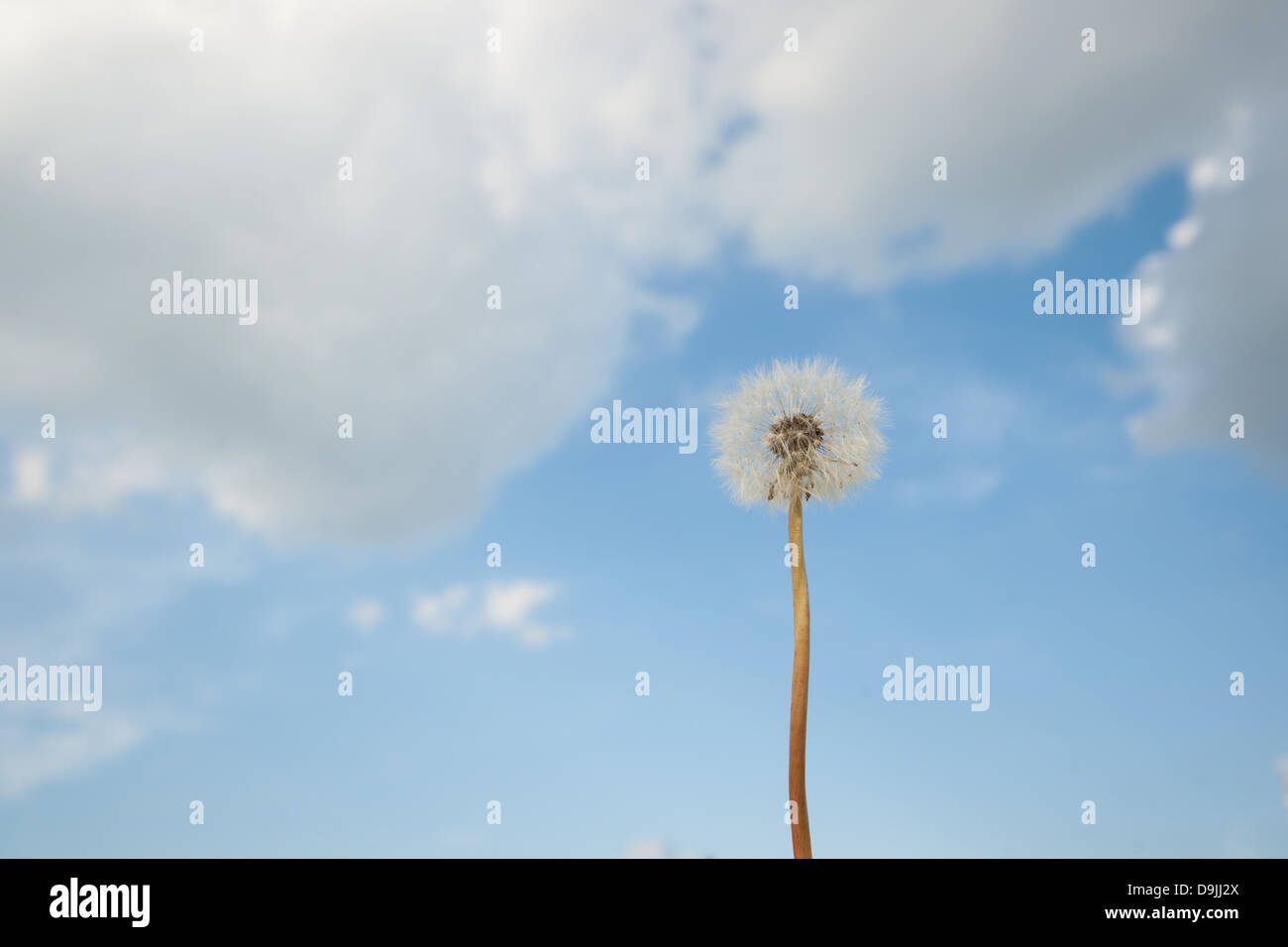 A white dandelion photographed against a blue sky with white clouds - Stock Image