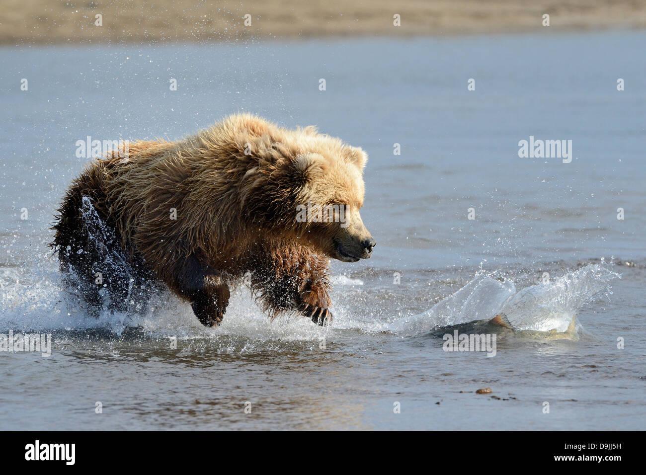 Grizzly Bear jumping at fish - Stock Image
