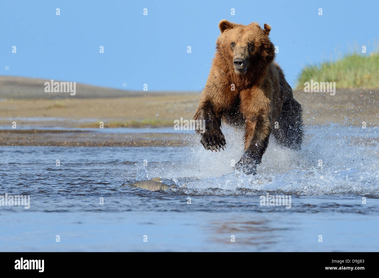 Grizzly Bear jumping at salmon - Stock Image