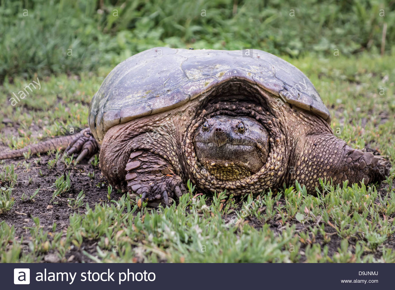 Common Snapping Turtle Chelydra serpentina in Rouge National Urban Park an urban wilderness in Toronto Ontario Canada. Stock Photo