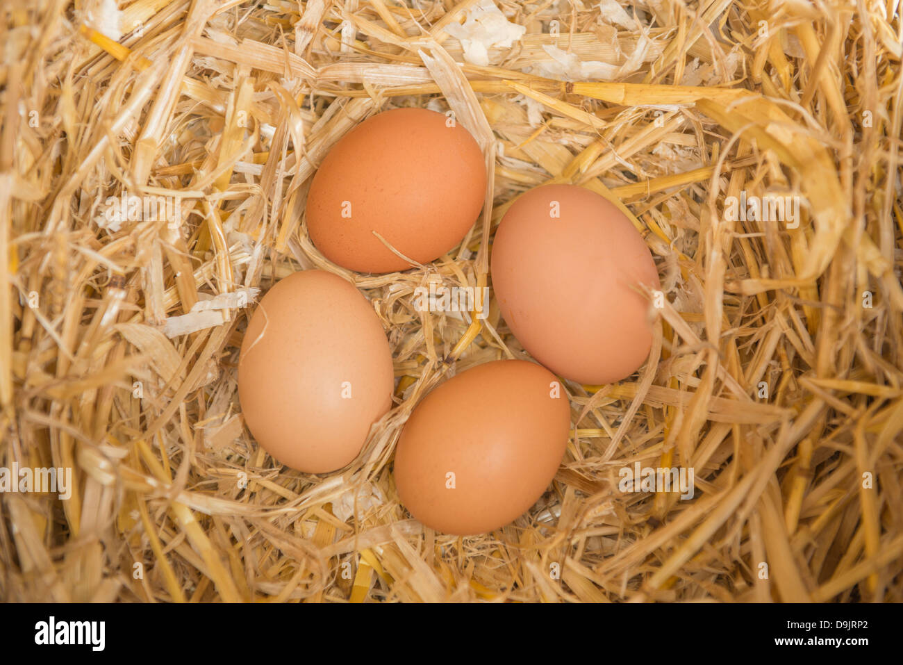 Freshly laid chicken eggs in a laying box - Stock Image