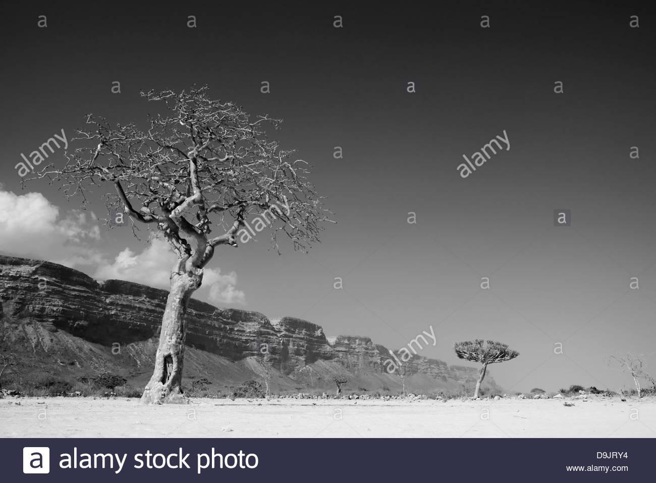 Trees in the barren landscape at Qa'arah, Socotra, Yemen - Stock Image