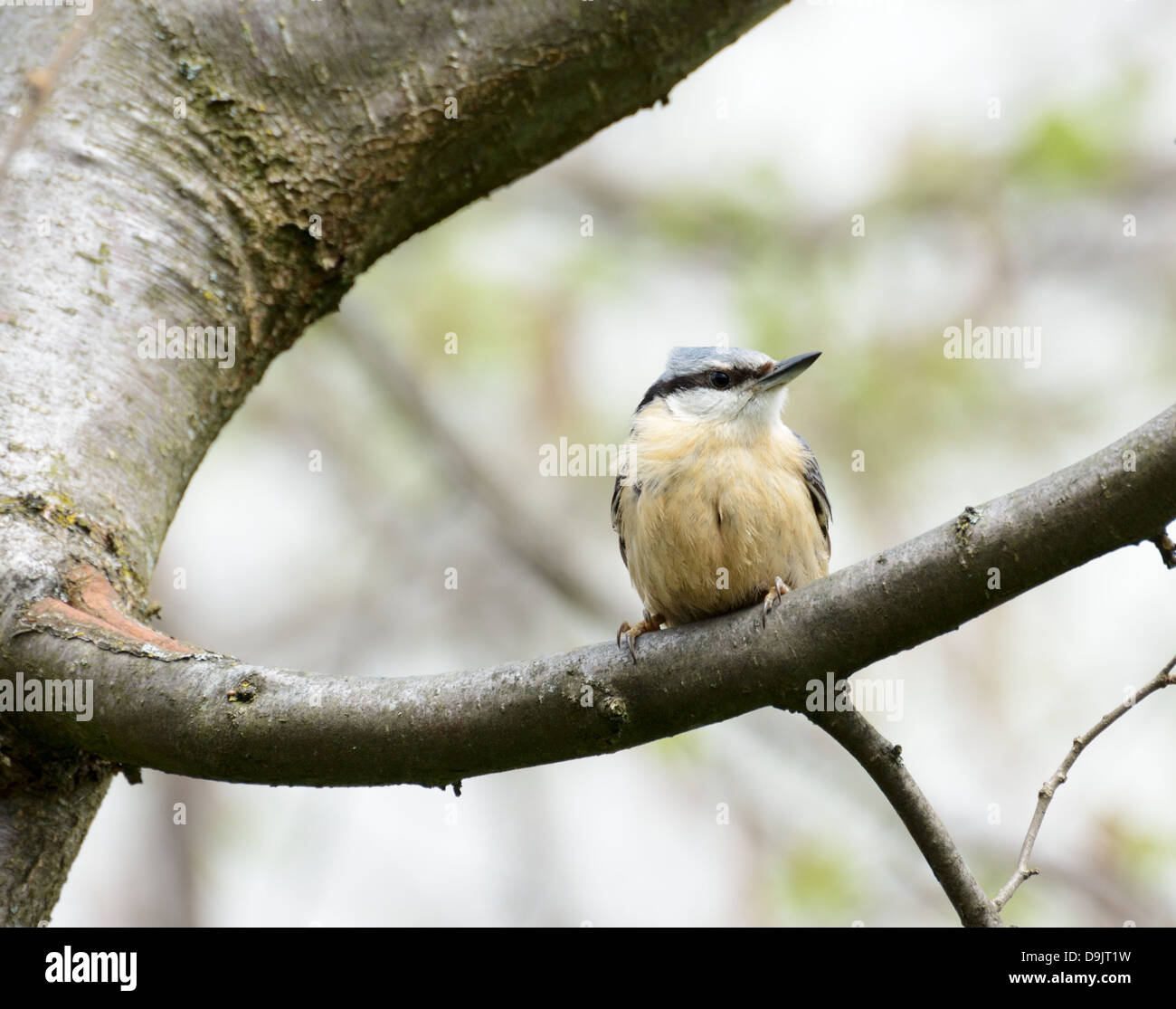 Eurasian Nuthhatch - a small passerine bird - Stock Image