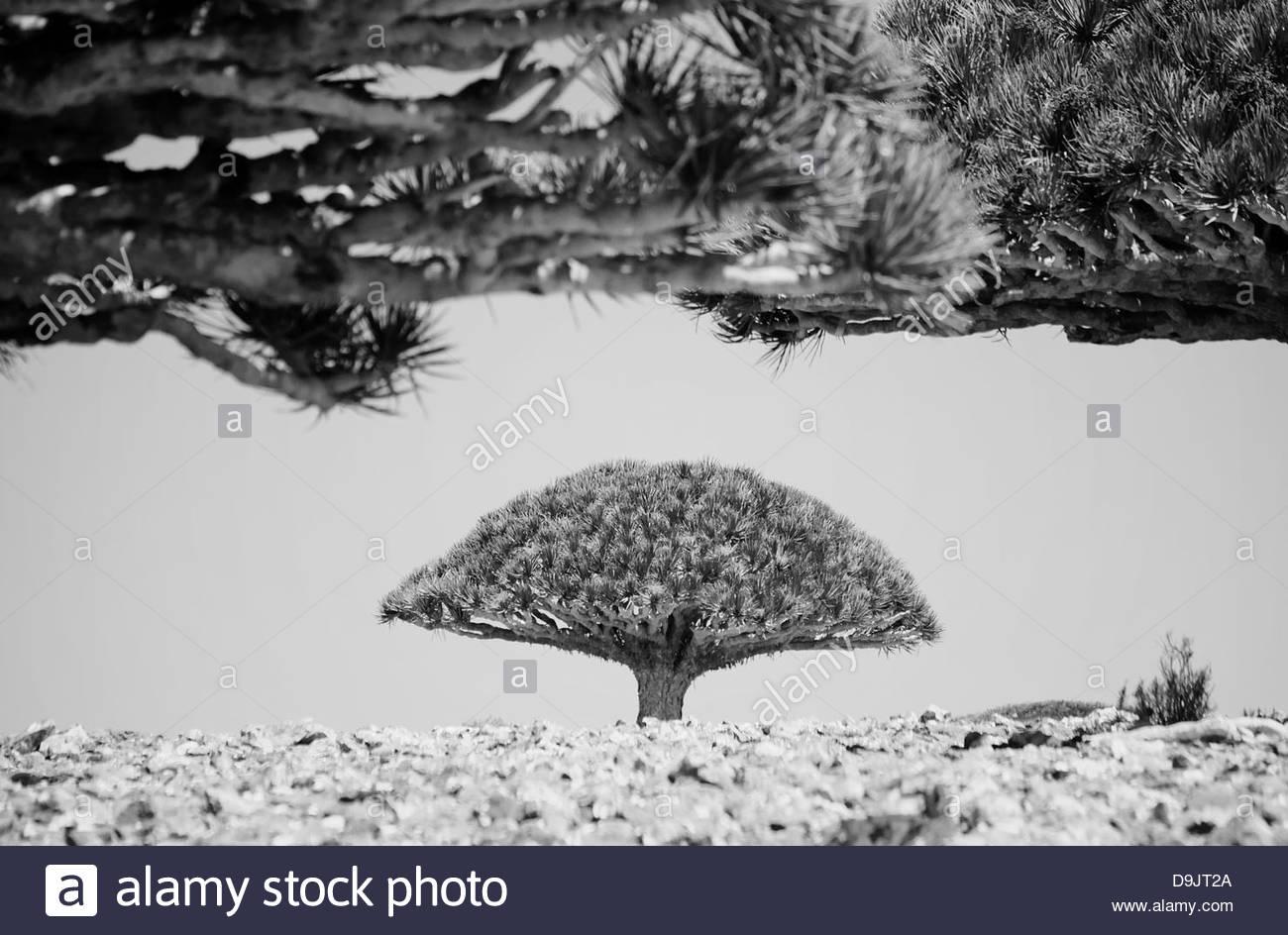 Dragon Blood Trees, Dixsam, Socotra, Yemen - Stock Image