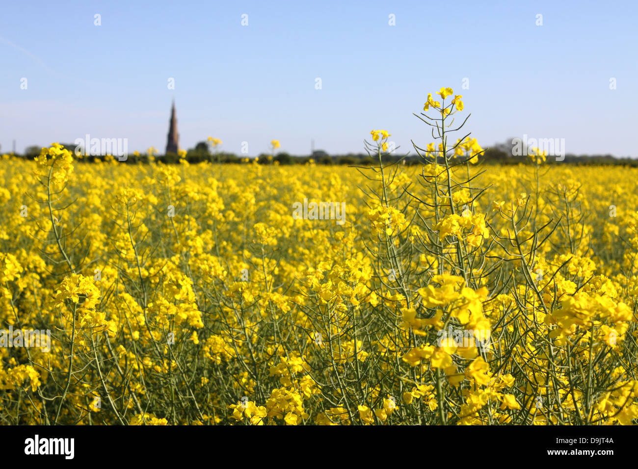 Yellow Rapeseed Blossoms In English Countryside Near Greetham Stock