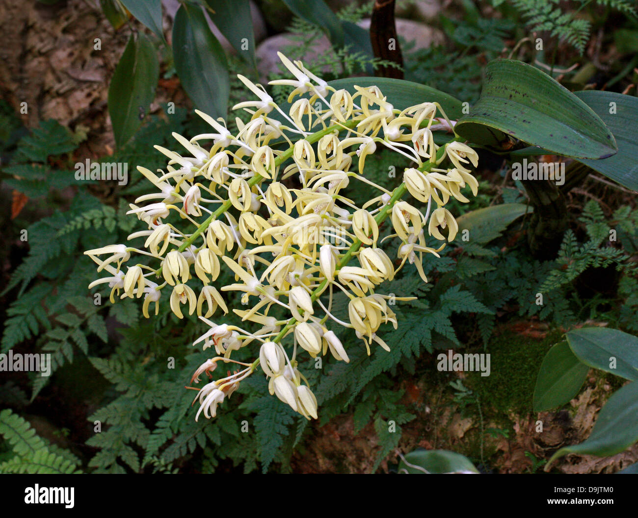 Outstanding Dendrobium, King Orchid, or Rock Lily, Dendrobium speciosum, Orchidaceae. Australia. - Stock Image