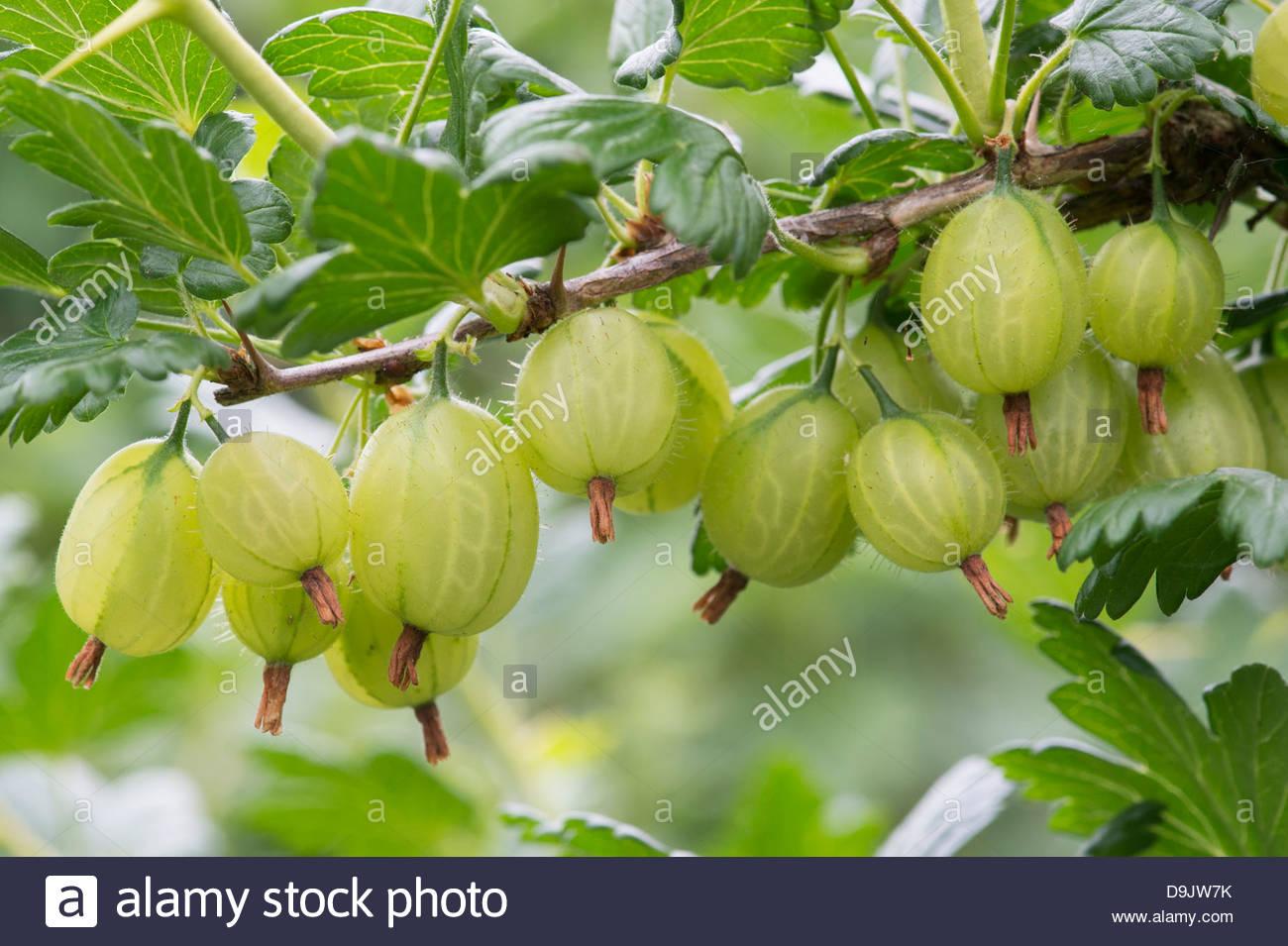 Useful properties of gooseberry. Harvesting gooseberries for the winter 66