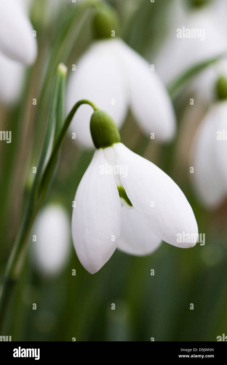 Galanthus nivalis. Close up of a single snowdrop in the garden. - Stock Image