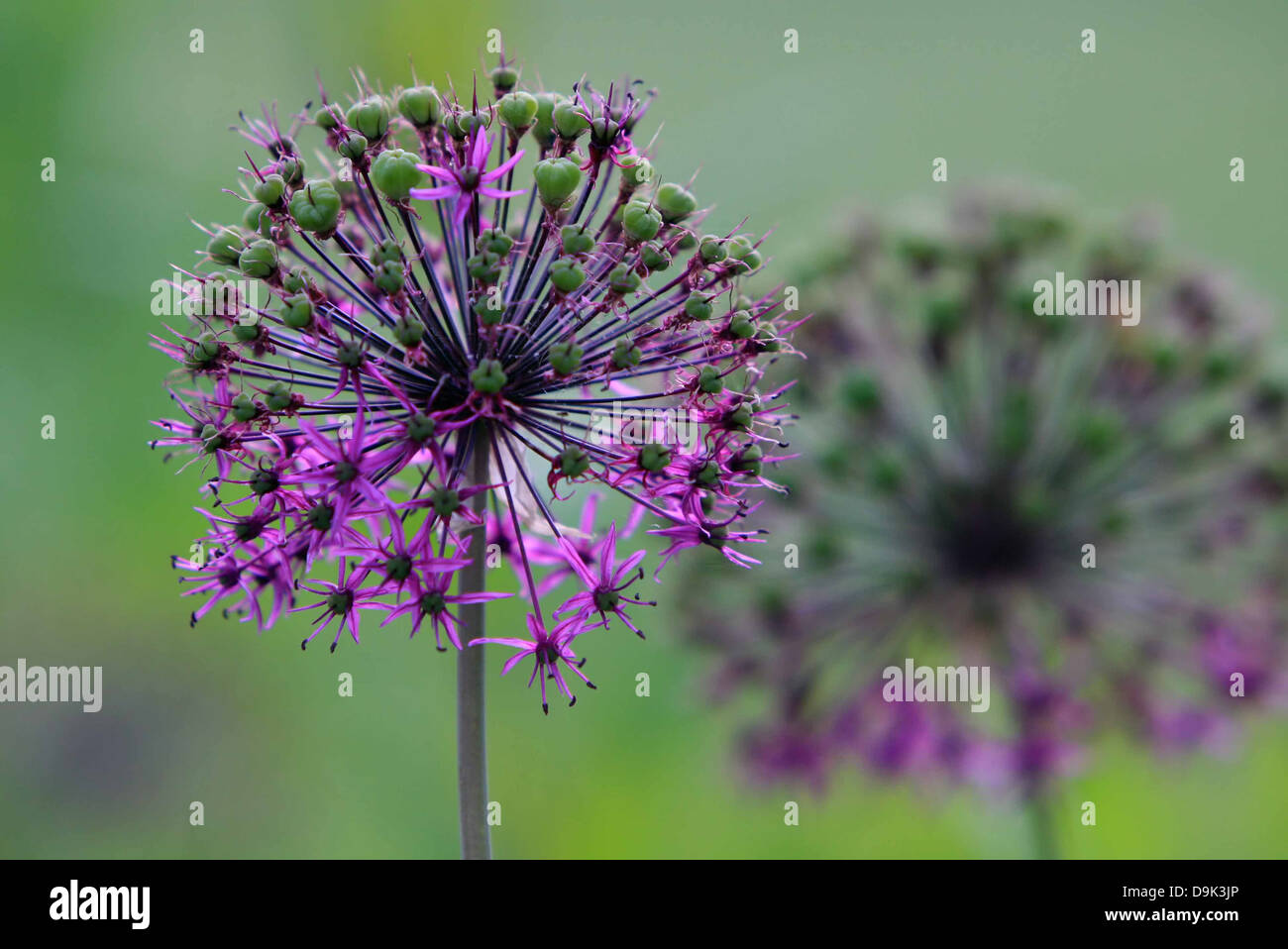 purple spiked flowers in green garden stem floral plant - Stock Image