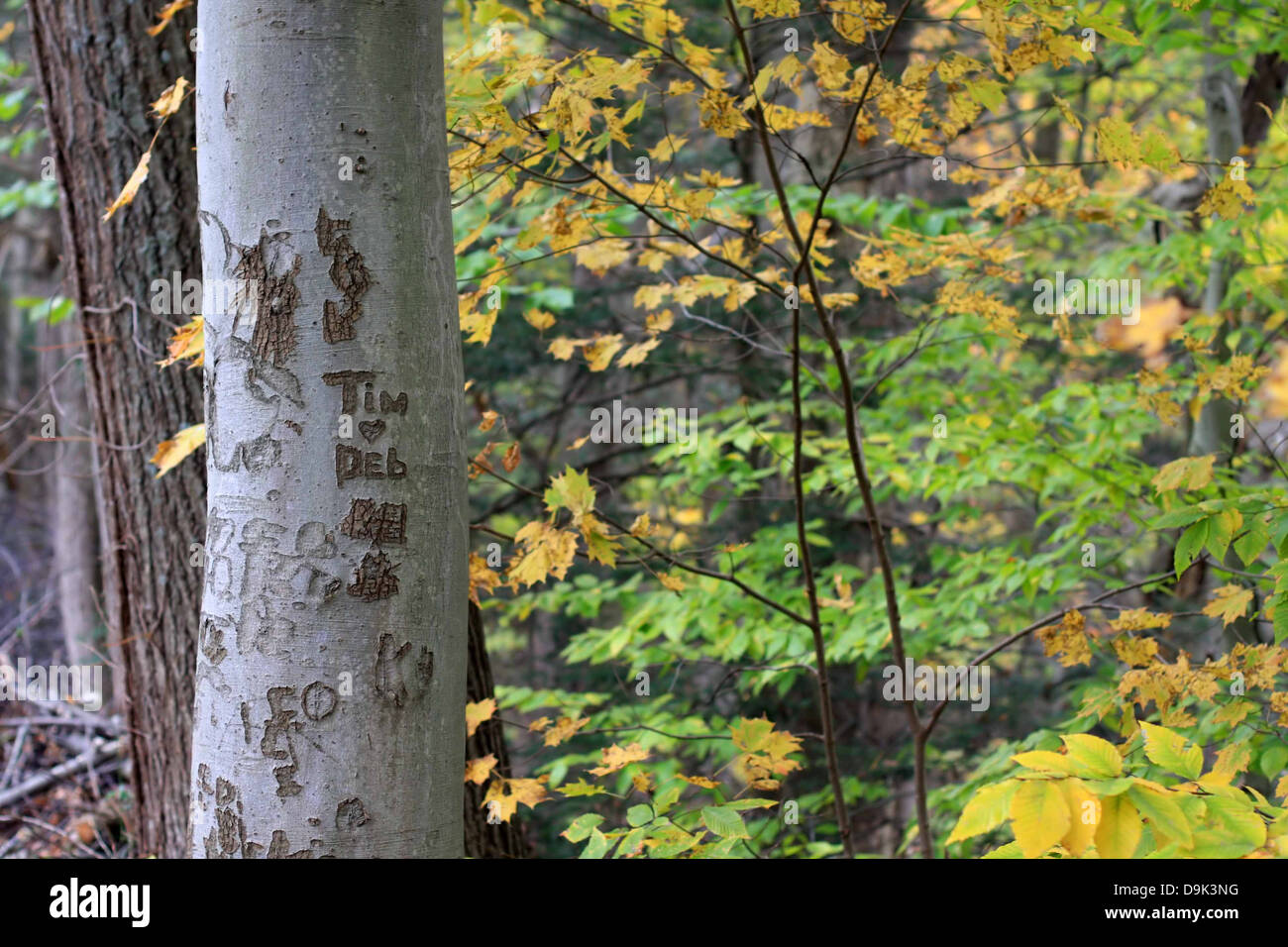 fall autumn leaf leaves tree trunk bark names carve heart love Tim Deb lovers sweethearts branch branches horizontal - Stock Image