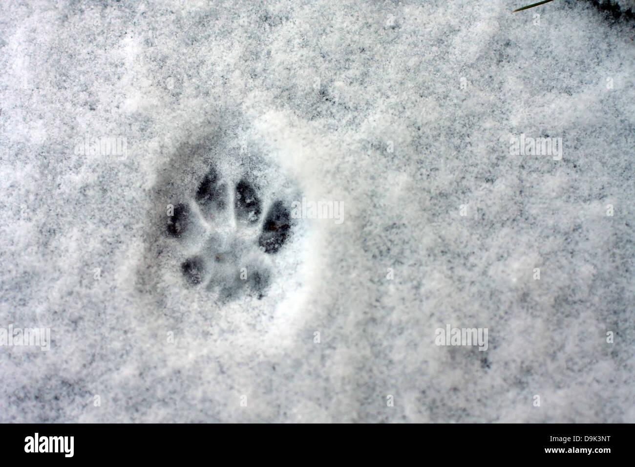 snow winter cold footprint foot print paw animal dog pet - Stock Image